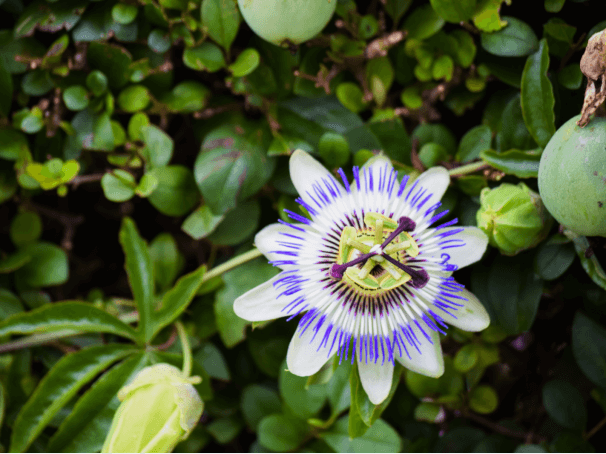 Taking Passion Flower for Anxiety: How Effective Is It?